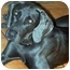 Photo 1 - Weimaraner Dog for adoption in Eustis, Florida - Taz  **ADOPTED**