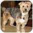 Photo 1 - Yorkie, Yorkshire Terrier/Poodle (Miniature) Mix Dog for adoption in Conroe, Texas - Cuddles