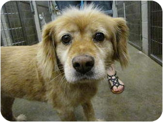 Golden Retriever/Chow Chow Mix Dog for adoption in Collinsville, Oklahoma - Violet