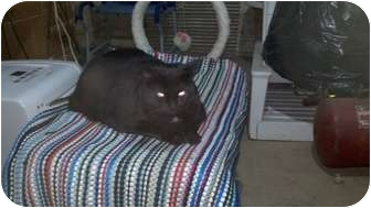 Domestic Shorthair Cat for adoption in Saint Albans, West Virginia - Midnight