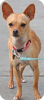 Chihuahua Mix Dog for adoption in Simi Valley, California - Koda
