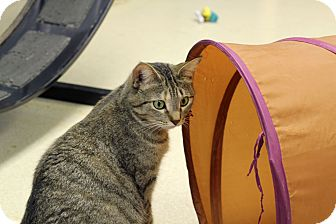 Domestic Shorthair Cat for adoption in Chicago, Illinois - Angelique