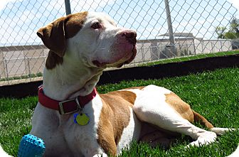 Pit Bull Terrier Mix Dog for adoption in Meridian, Idaho - Troi