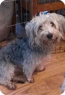 Yorkie, Yorkshire Terrier Mix Dog for adoption in St. Petersburg, Florida - Darwin