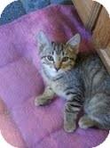 Domestic Shorthair Kitten for adoption in Madison, Wisconsin - Moros