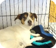 Terrier (Unknown Type, Small) Mix Dog for adoption in Las Vegas, Nevada - Angel