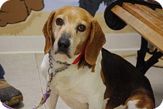 Beagle Mix Dog for adoption in Elyria, Ohio - Bubba