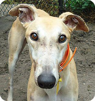 Greyhound Dog for adoption in Longwood, Florida - Turbo Fabian