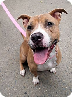 American Pit Bull Terrier Mix Dog for adoption in New York, New York - Marnie