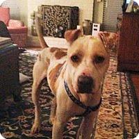 Adopt A Pet :: Charlie, dream dog and trained - Sacramento, CA