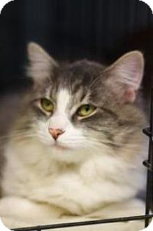Domestic Longhair Cat for adoption in Yukon, Oklahoma - Victor
