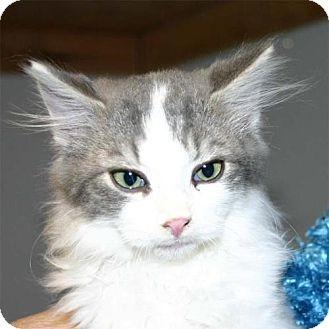 Domestic Mediumhair Kitten for adoption in Salem, Oregon - Hank (shelter)