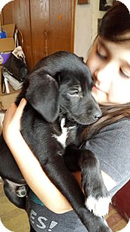 Labrador Retriever/Terrier (Unknown Type, Small) Mix Puppy for adoption in Davisburg, Michigan - River