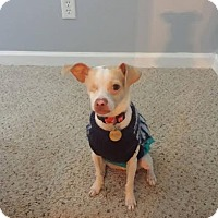 Adopt A Pet :: Percy - Hamburg, PA