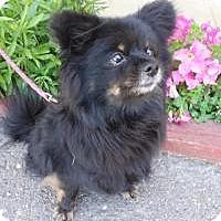 Adopt A Pet :: Coco - Santa Rosa, CA
