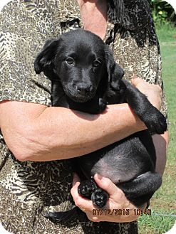 Flat-Coated Retriever/Labrador Retriever Mix Puppy for adoption in Oswego, New York - Journey