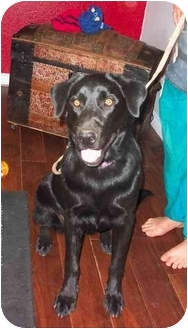 Labrador Retriever Puppy for adoption in Pine Valley, California - Lexie