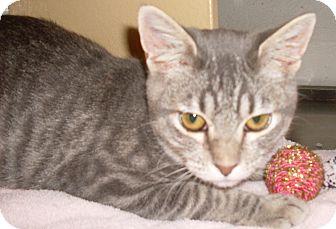 Domestic Shorthair Cat for adoption in Buhl, Idaho - Sherman