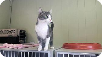 Domestic Shorthair Cat for adoption in Indianola, Iowa - Harpor