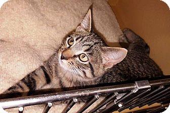 Domestic Shorthair Kitten for adoption in Anoka, Minnesota - Pugsley and Gomez