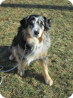 Australian Shepherd Mix Dog for adoption in LaGrange, Kentucky - FINN