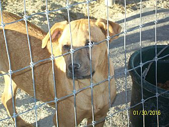 Catahoula Leopard Dog/Pit Bull Terrier Mix Dog for adoption in Mexia, Texas - Sassy