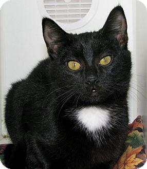 Domestic Shorthair Cat for adoption in New Kensington, Pennsylvania - Saffron