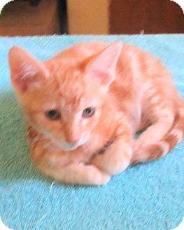 Domestic Shorthair Kitten for adoption in Palm Springs, California - Junior