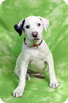 Catahoula Leopard Dog/American Bulldog Mix Puppy for adoption in Westminster, Colorado - GERTY