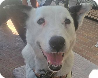 Border Collie Mix Dog for adoption in San Pedro, California - DAISY (Courtesy List)