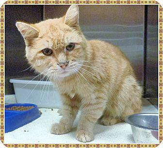 Domestic Shorthair Cat for adoption in Marietta, Georgia - JIMBO (R)