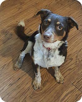 Australian Shepherd Mix Dog for adoption in Oakland, Michigan - Jasper