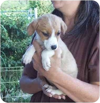 Jack Russell Terrier/Beagle Mix Puppy for adoption in Salem, New Hampshire - Dollie