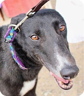 Greyhound Dog for adoption in Tucson, Arizona - Hopper
