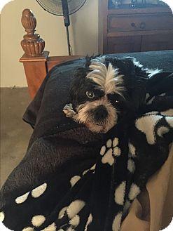 Havanese/Shih Tzu Mix Dog for adoption in Playa Del Rey, California - Puma