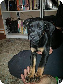 Labrador Retriever/Boxer Mix Puppy for adoption in Charlotte, North Carolina - Ziva