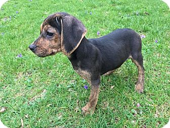 Beagle Mix Puppy for adoption in Hagerstown, Maryland - Billie (RBF)