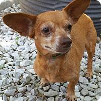 Adopt A Pet :: Sugar - Bridgeton, MO