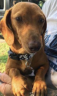 Dachshund Dog for adoption in Dallas, Texas - Blossom
