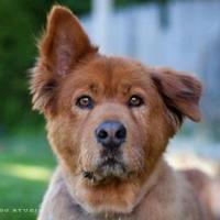 Adopt A Pet :: Chewbacca - West Richland, WA