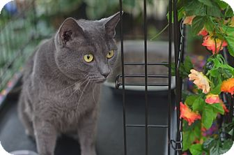 Russian Blue Cat for adoption in Brooklyn, New York - Kimba