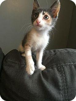Domestic Shorthair Kitten for adoption in Philadelphia, Pennsylvania - Squeaky