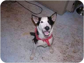 Canaan Dog Mix Puppy for adoption in Ridgeville, South Carolina - Boo Boo