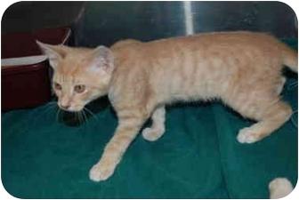 Domestic Shorthair Kitten for adoption in Putnam Hall, Florida - Tyler