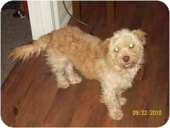 Poodle (Standard)/Dachshund Mix Dog for adoption in Grand Saline, Texas - Dante