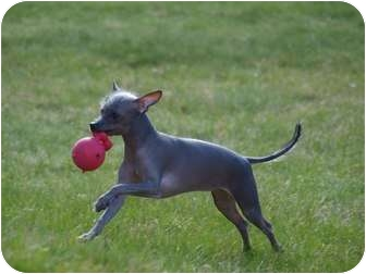 Xoloitzcuintle/Mexican Hairless/Chinese Crested Mix Puppy for adoption in Toronto/Etobicoke/GTA, Ontario - Mr. Reese ***ON HOLD***