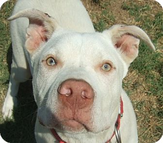 Pit Bull Terrier Mix Dog for adoption in Watauga, Texas - Frankie