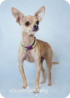 Chihuahua Dog for adoption in Phoenix, Arizona - Poco Loco