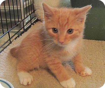 Domestic Shorthair Kitten for adoption in Acme, Pennsylvania - Ohio