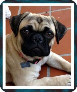 Pug Mix Puppy for adoption in Pismo Beach, California - Lola
